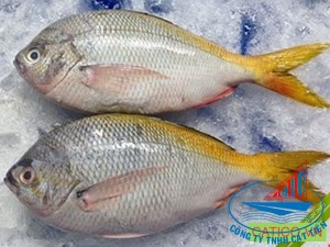 Yellow tail fusilier